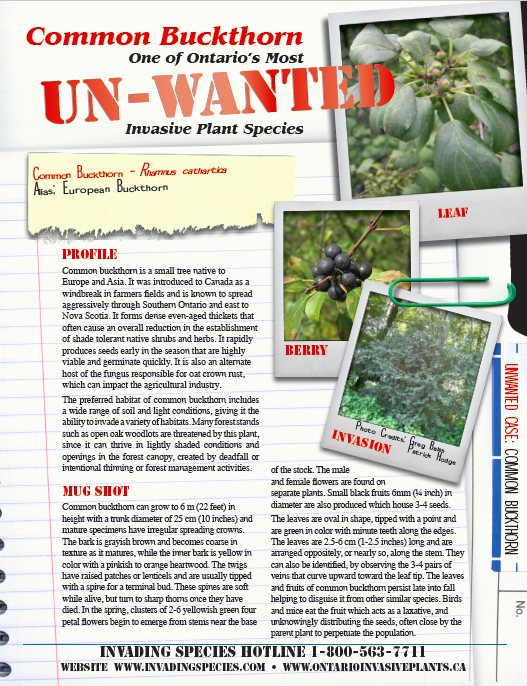 Buckthorn Unwanted Fact Sheet