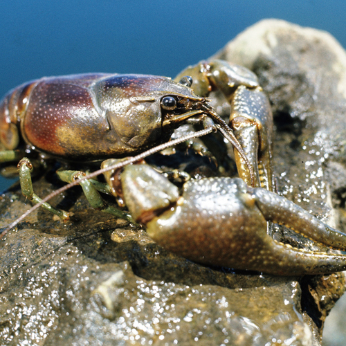 Invasive fish and invertebrates - Rusty Crayfish