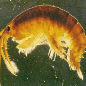 Invasive fish and invertebrates - Killer Shrimp