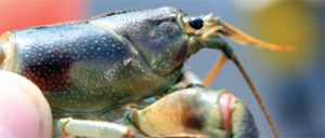 Rusty crayfish side profile