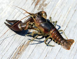Rusty Crayfish is similar to native species