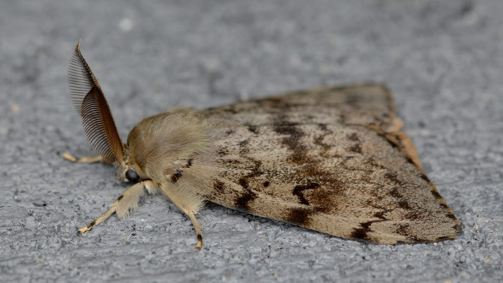 gypsy moth side profile