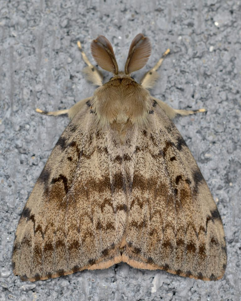 Gypsy moth arial view