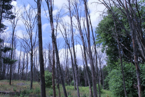 A stand of oak trees showing the devastating effects of oak wilt and oak decline