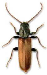Brown Spruce Beetle