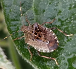 Brown marmoratred stink bug