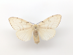 Gypsy Moth Adult Female