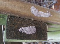 SLF lay their eggs on a variety of hard surfaces, including patio furniture and picnic tables. Photo: Emelie Swackhamer, Penn State University, Bugwood.org.