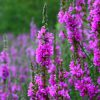Purple loosestrife flower